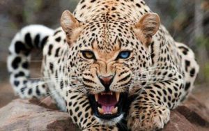 leopardo agresivo